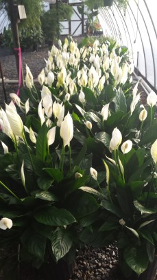 """8"""" Spath (Peace Lily)"""