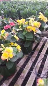 "6"" Floral Begonia"