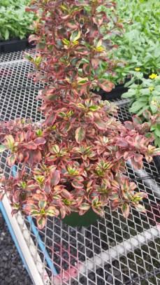 Inferno Mirror Plant (Gal.)