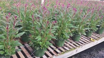Purple Celosia