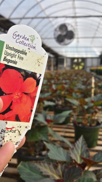 """We'll have 6.5"""" Unstoppable Begonias in a few weeks!"""