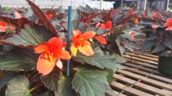 """6.5"""" Unstoppable Upright Fire Begonia"""