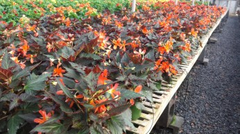 Unstoppable Begonias