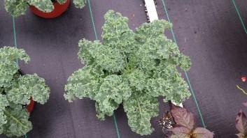 "8"" Starbor Kale"
