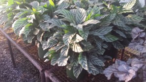 "8"" Calathea Lancifolia"