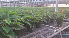 Poinsettias are looking good!