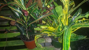 "4"" Assorted Croton"