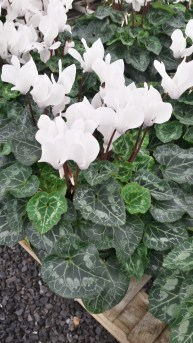 "6.5"" Scented White Cyclamen (Smells a Rose!)"