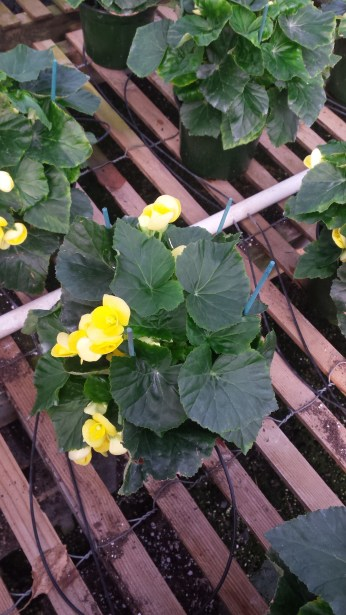 "6.5"" Yellow Begonia, Small"