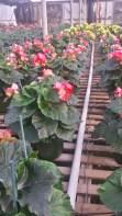 """6.5"""" Pink Begonia"""