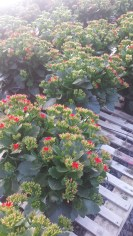 """6.5"""" Red Kalanchoe"""