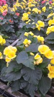 """6.5"""" Yellow Begonia"""