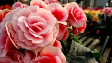 "6.5"" Borias Antique Pink Begonia"