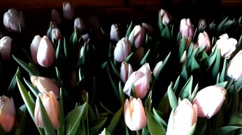 "6.5"" Light Pink Tulips"