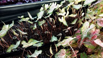"""4"""" Pre-Finished Caladiums"""