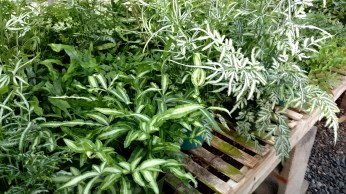 "Assorted 6"" Ferns"