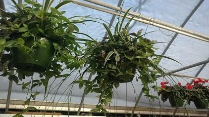 "10"" Wandering Jew/Spider Plant"