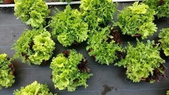 """12"""" Lettuce Bowl"""