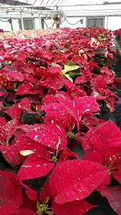 """7.5"""" Red Glitter Poinsettias"""