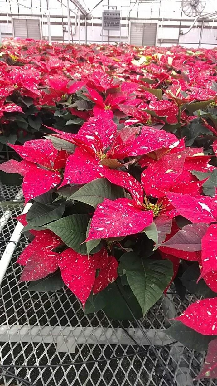 """6.5"""" Red Glitter Poinsettias"""