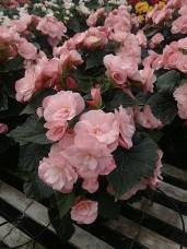 """6.5"""" Reiger Begonia"""