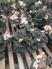 """Rex Begonia """"New Black"""""""