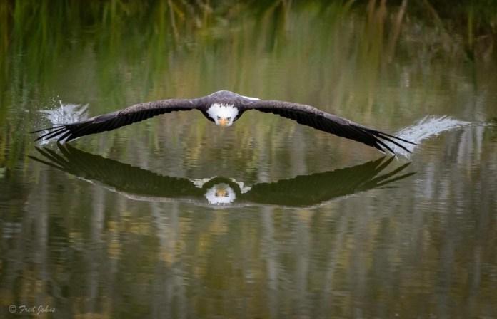 aguia lago
