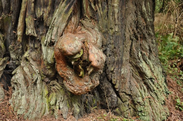 A Giant Burl on a Giant Redwood Tree