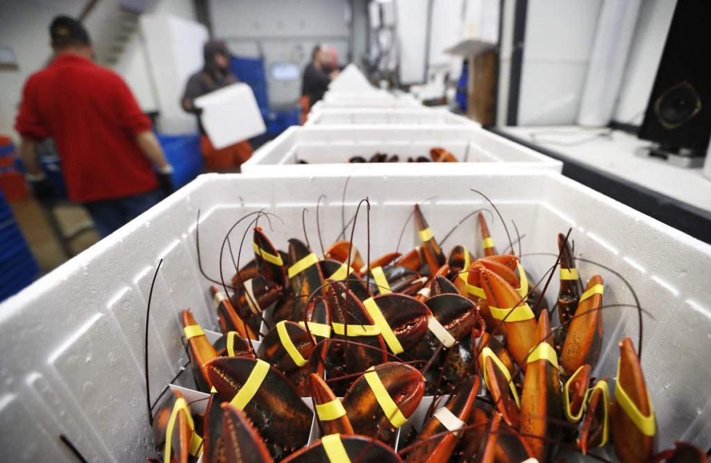 Live lobsters ready for shipment at Lobster Co. in Arundel. Exports of live lobster to China have taken a nearly 50 percent nosedive in the year since tariffs were imposed in the summer of 2018.