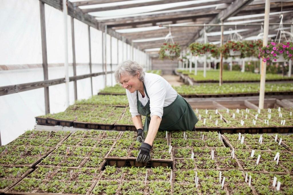 Margo Lambertson works on separating baby petunia cartons during her first day of employment at Skillins Greenhouses during open house weekend at the Cumberland location on Saturday.