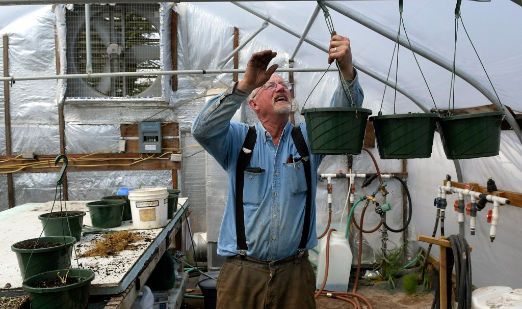 """Ford Stevenson hangs strawberries May 20 in a greenhouse at his family farm, Stevenson's Strawberries, in Wayne. Stevenson said the cold, damp weather this spring has presented only a few challenges for his crops. """"We plant late in the spring, when it's warmer and drier,"""" he said. """"We should be fine."""""""