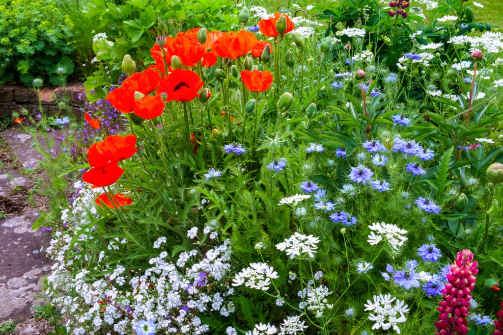 A border, complete with poppies, in an English cottage garden.
