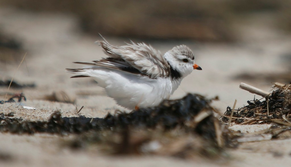 """An adult piping plover """"puffs up"""" while protecting a nest in Old Orchard Beach in June. Maine Audubon has worked for decades to protect these endangered birds. This year, biologists are seeing record numbers of nesting birds."""