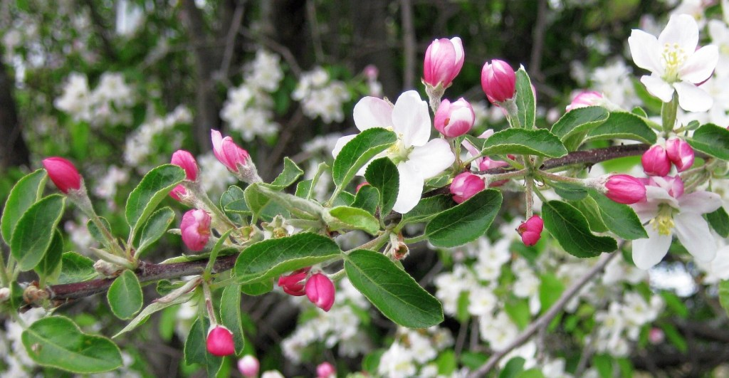 Crabapple blossoms in Troy.