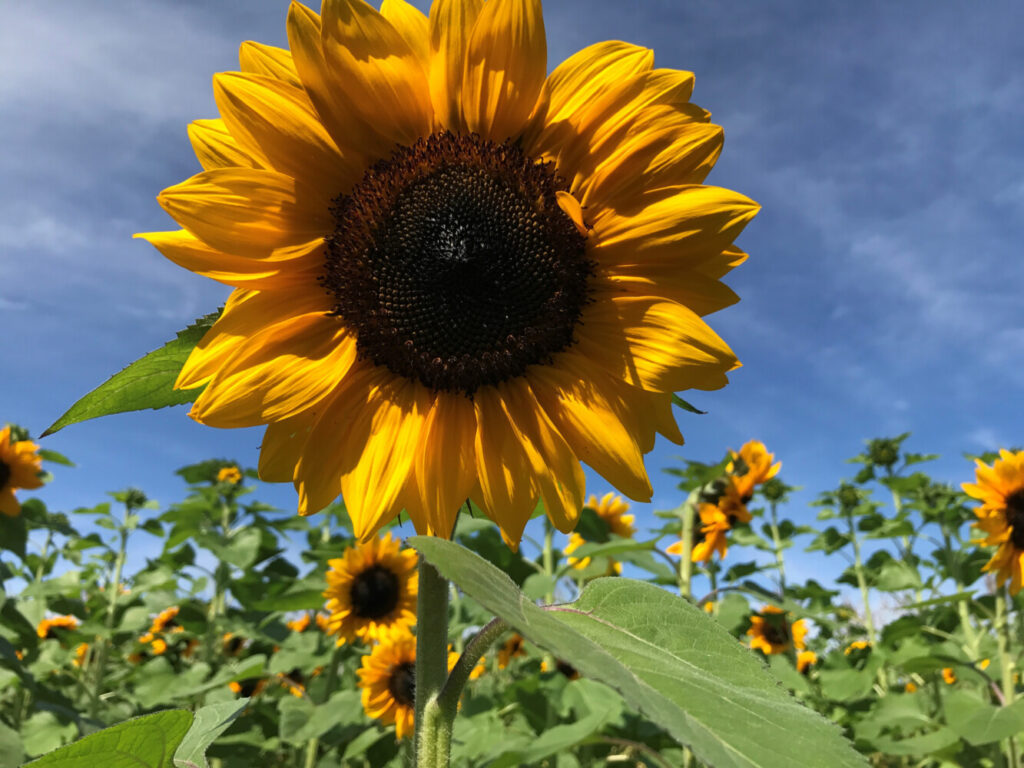 On the Cheap Maine Sunflower Festival in Dayton and more