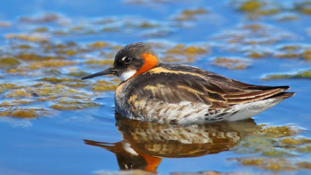 """""""We were also thrilled to see a Red-necked Phalarope foraging in the intertidal zone,"""" writes columnist Herb Wilson, who visited Lucbec recently for the annual shorebird migration."""