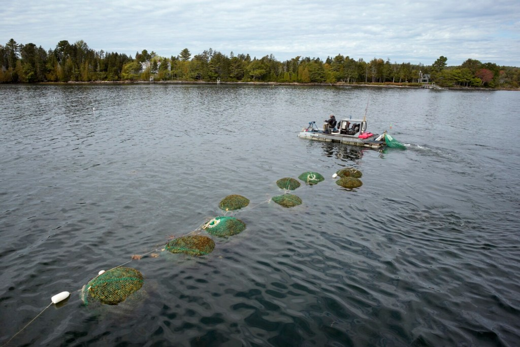 Mike Bishop motors his harvesting raft around nets of submerged harvested seaweed while moving to a new location in Quahog Bay off Harpswell in late September. Bishop works for Source Maine, a Brunswick company that makes micronutrient supplements using the seaweed. A recent court ruling that prohibits harvesting in the intertidal zone has made it harder for seaweed harvesters to do business.