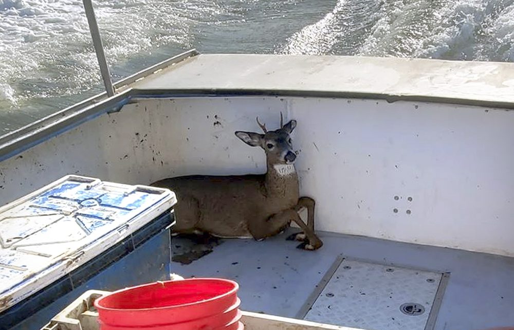 A deer that was rescued from the ocean five miles offshore from Harrington, Maine, rests in a boat on its way back to shore on Monday. Lobsterman Ren Dorr and his crew saw the 100-pound buck bobbing in the water, hauled it aboard and returned to shore where the deer was released in Harrington.