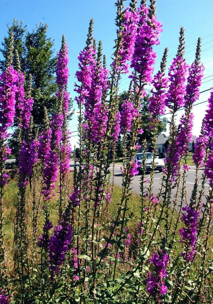 Loosestrife grows in a wet area along Route 2 in Farmington. Though it's beautiful when in bloom, this invasive is crowding out native plants and degrading wetlands.