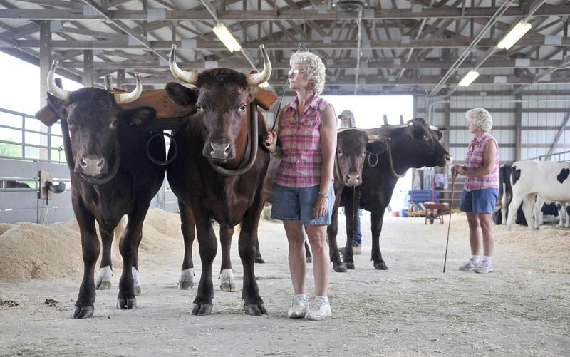 Claudene Northrup, center, stands with her team of oxen, Red and Sox while her twin sister Claudia Orff-Reed, far right, stands with her team of oxen Clyde and Clem before the oxen show at the Skowhegan State Fair friday morning.