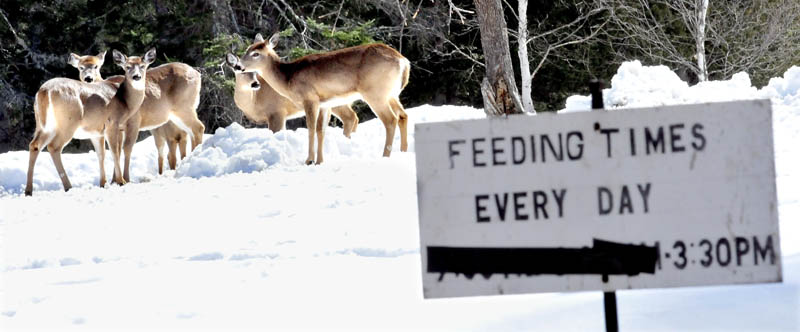 Deer assemble at the home of Basil and Harriet Powers for daily feeding. The Powers welcome any donations to help offset the high cost of grain the couple uses to feed up to a hundred deer a day.