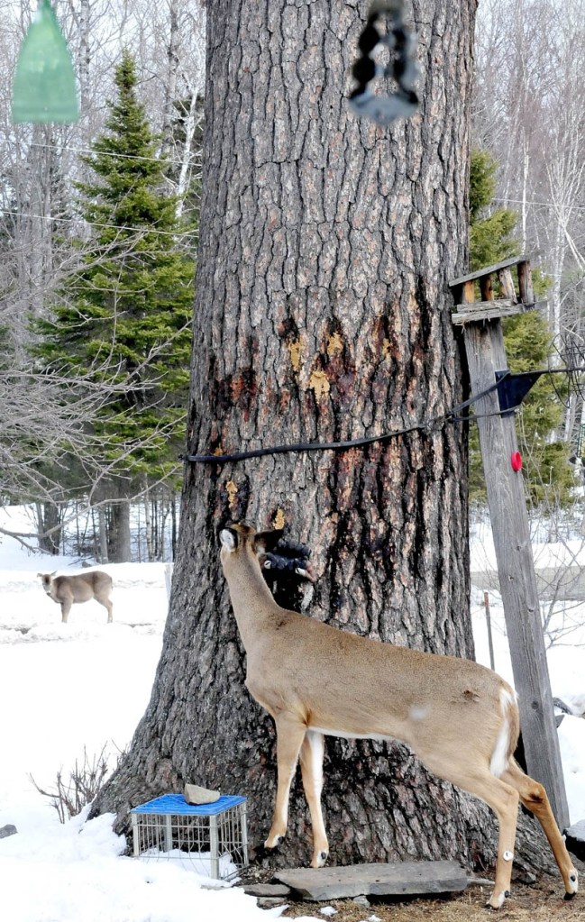 A deer eats peanut butter stuck in the bark of a tree outside the home of Basil and Harriet Powers, at their farm in Coplin Plantation. The treat is one of several the couple feeds to the deer.