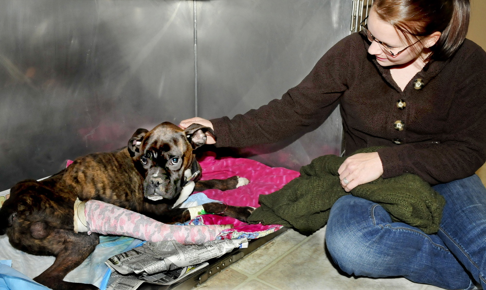 RESCUED: Christine Pierce of North Anson posed with year-old boxer Dempsey, who is now recovering at the Madison Animal Hospital. Dempsey is being treated for a broken leg and other problems after surviving being hit by a car and living outdoors for nine days in frigid temperatures.