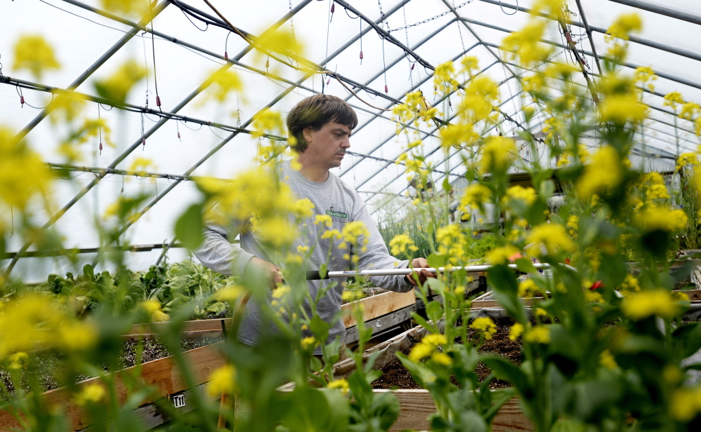Chad Churchill, nursery manager at Highland Avenue Greenhouse & Farm Market in Scarborough can be seen through pac choi as he waters sugar snap peas in the greenhouse Tuesday.