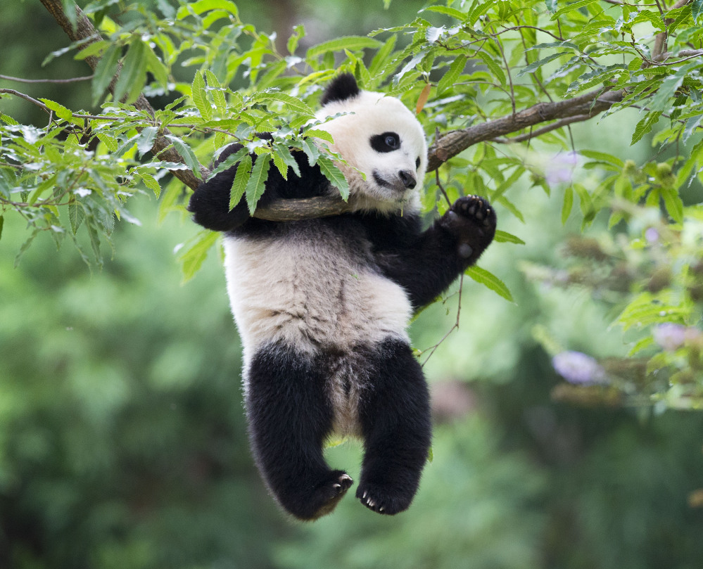 Panda cub Bao Bao hangs from a tree in her habitat at the National Zoo in Washington on her first birthday on Saturday.