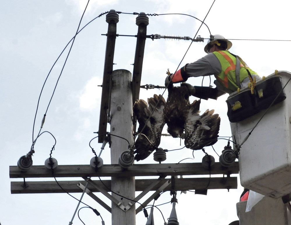 Central Maine Power employee Don Higgins pulls the body of an American bald eagle off the wires of a utility pole on Allen Street in Waterville after it landed on the pole and was electrocuted on Tuesday. The bird was in the wires for several hours until CMP turned off the power after 5 p.m. to disentangle the bird.