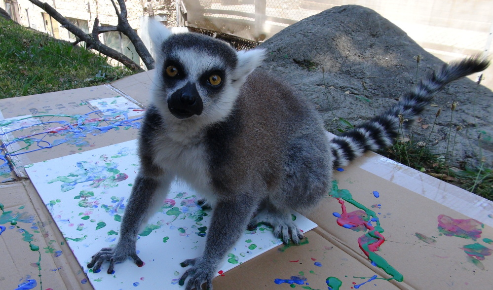 Jennifer, a ring-tailed lemur, takes part in the hands-on project to benefit the Oakland Zoo's conservation partners.