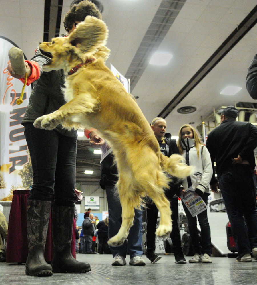Keeper, a 3-year-old spaniel, leaps for a retriever training toy held by Trish Jackson on Saturday at the Maine Spaniel Field Trial booth during 37th annual State of Maine Sportsman's Show, held in the Augusta Civic Center.