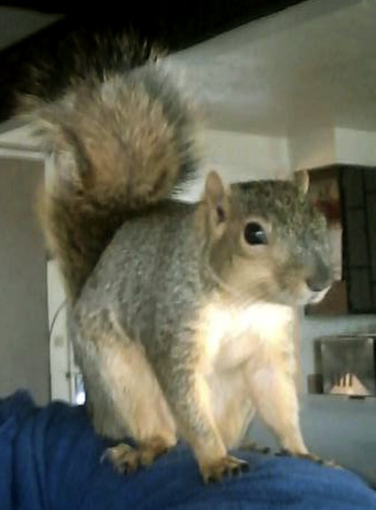 Joey the squirrel clawed the burglar breaking into his home, allowing police to identify the scratches.
