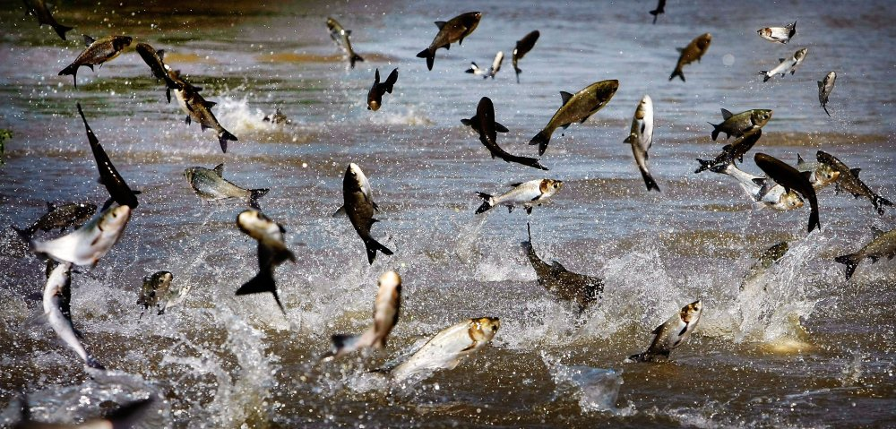 Jumping Asian carp feed off the muck-filled floodwater off President's Island in Memphis, Tenn. The Illinois Department of Natural Resources and the Asian Carp Regional Coordinating Committee reported Friday the finding of a silver carp in the Calumet River.
